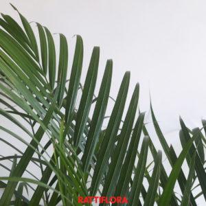 pianta areca vendita online rattiflora dettaglio