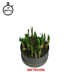 Florabox_Narciso_rattiflora_01A_2